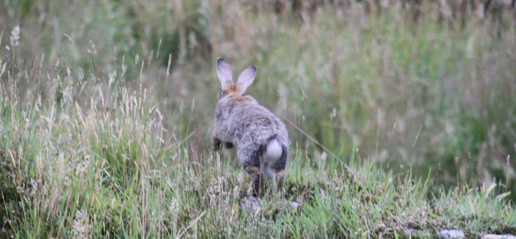konijn binkie