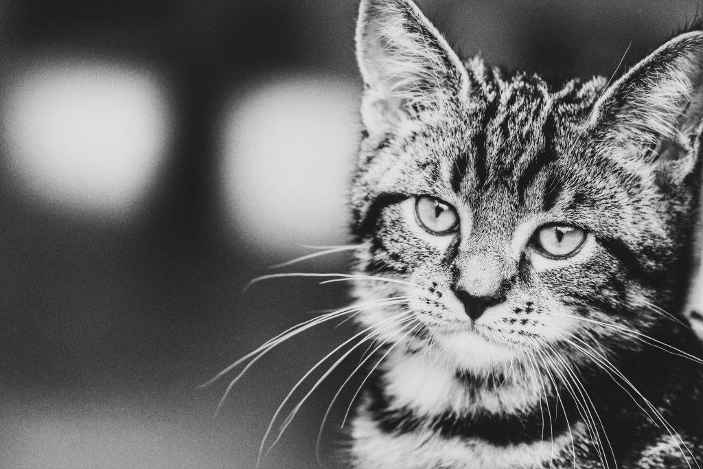 nieuwsgierige kat zwart-wit