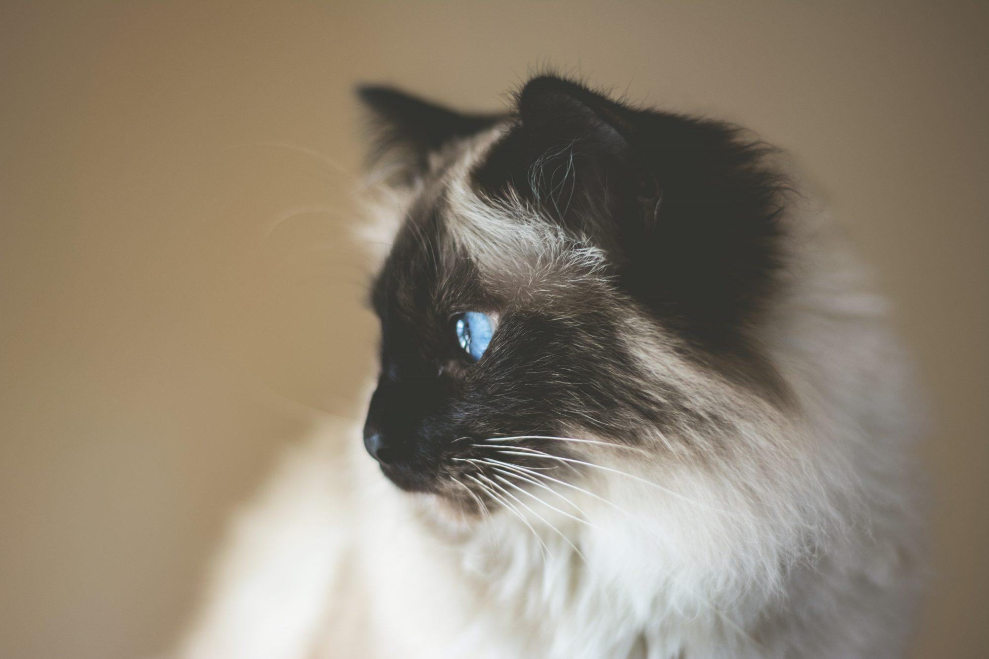 kat kijkt geïnteresseerd