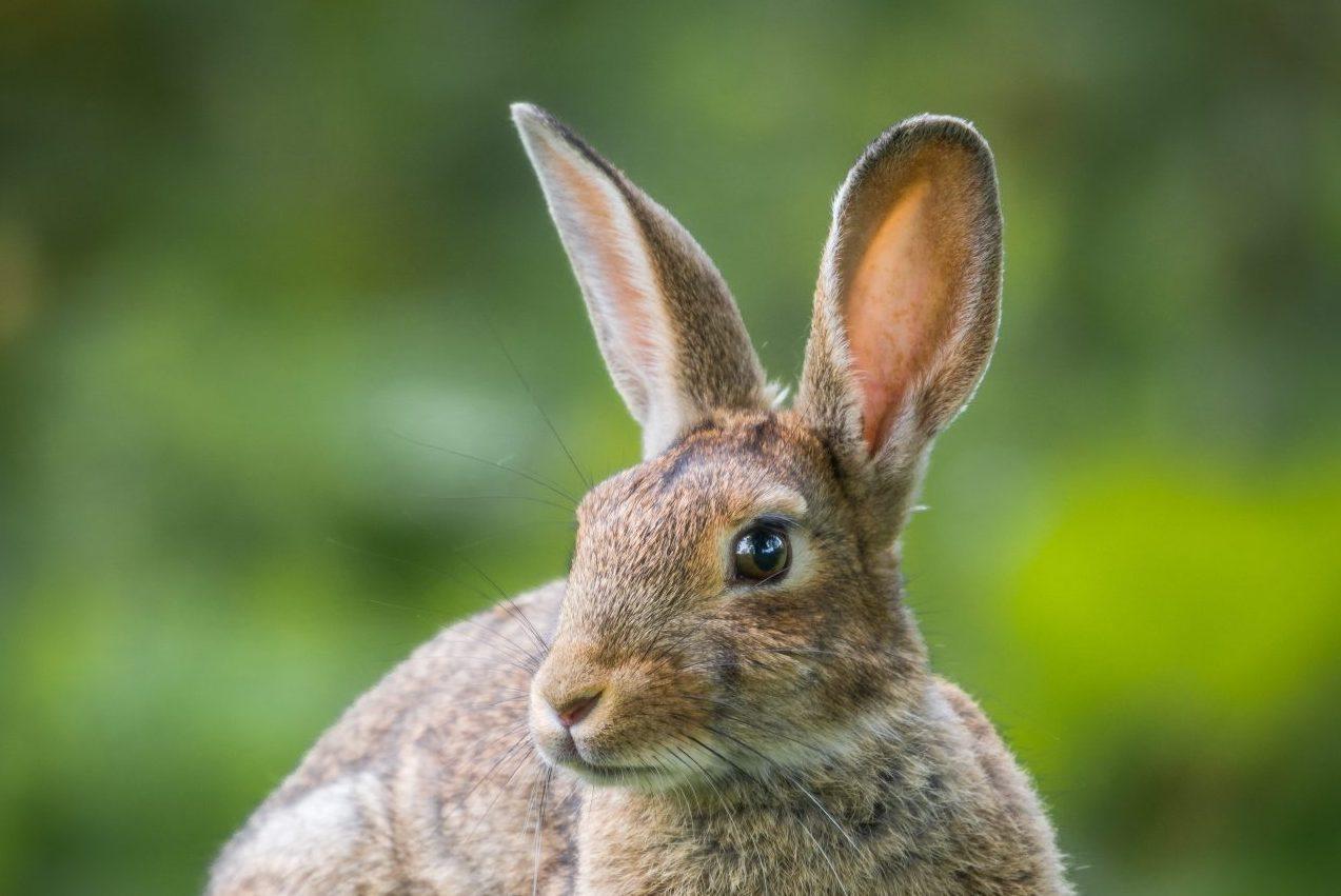 konijn alert grote oren
